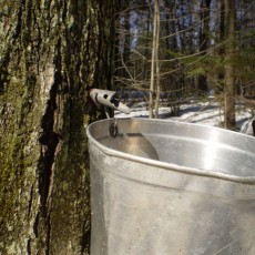Cincinnati Eastside, OH Events: Maple Syrup Making & Guided Sap Collecting Hikes at CNC